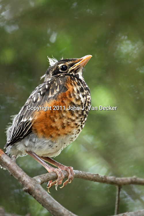 An American Robin, Turdus migratorius, fledgling perched in a tree. Passaic, New Jersey, USA, North America.