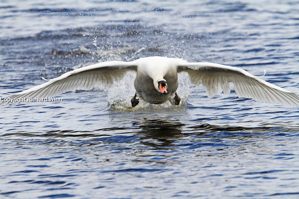 Head-on view of a swan landing, with wings outstretched and legs back.