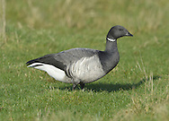 Brent Goose, pale-bellied race Branta bernicla L 56-61cm. Our smallest goose – similar size to Shelduck. Subtle plumage patterns allow separation of two subspecies that winter here: Pale-bellied Brent B.b.hrota (breeds on Svalbard and Greenland) and Dark-bellied Brent B.b.bernicla (breeds in Russia). Seen in sizeable and noisy flocks. In flight, looks dark except for white rear end. All birds have a black bill and black legs. Sexes are similar. Adult Pale-bellied has blackish head, neck and breast; side of neck has narrow band of white feathers. Note neat division between dark breast and pale grey-buff belly. Back is uniform dark brownish grey. Adult Dark-bellied is similar but belly is darker and flanks are paler. Juveniles are similar to respective adults but note pale feather margins on back and absence of white markings on side of neck; white on neck is acquired in New Year. Voice Very vocal, uttering a nasal krrrut. Status Winter visitor to coasts.