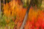 Camera movement during a long exposure blurs the fall color on a vine maple near Nason Creek in Washington state.