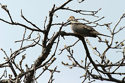 14 April 2006:   a pigeon dove indigenous and common to central Illinois sits in a tree in the spring surrounded by leaf buds.