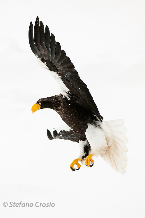 JAPAN, Eastern Hokkaido.Steller's sea eagle (Haliaeetus pelagicus) landing on the pack (IUCN 2010: Vulnerable)