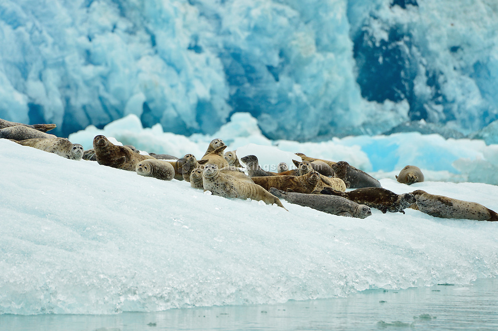 Large group of harbor seals rest on a iceberg below the massive blue face of the Dawes glacier in Tracy Arm fjord near Juneau, Alaska.