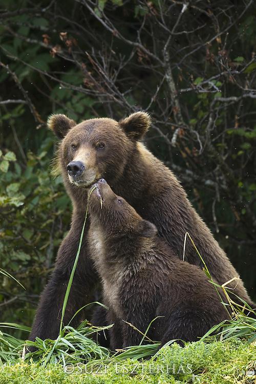 Alaskan Brown Bear<br /> Ursus arctos middendorffi<br /> Mother and 6-8 month old cub(s)<br /> Katmai National Park, AK