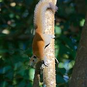 Grey-bellied Squirrel Callosciurus caniceps. Nam Nao National Park, Thailand.