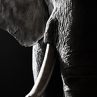 Close up of an elephant in the Vienna Museum of Natural History