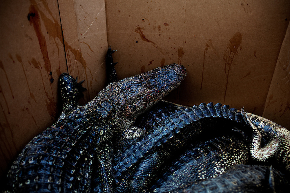 Following a day of hunting near Shell Island, Louisiana on Sunday, September 20, 2009 the catch of the day is measured and recorded. The gators are then placed in cold storage in large cardboard boxes until the hunters have run out of tags. They are then delivered to someone who skins the animals and processes the meat, returning the skins to be sold.