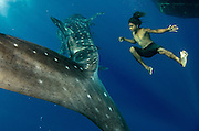 Whale Shark (Rhincodon typus) & local fisherman<br /> Cenderawasih Bay<br /> West Papua<br /> Indonesia