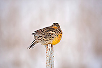 End of December2016 and this Western Meadowlark in northern Utah has a look like who's idea is all of this cold weather!