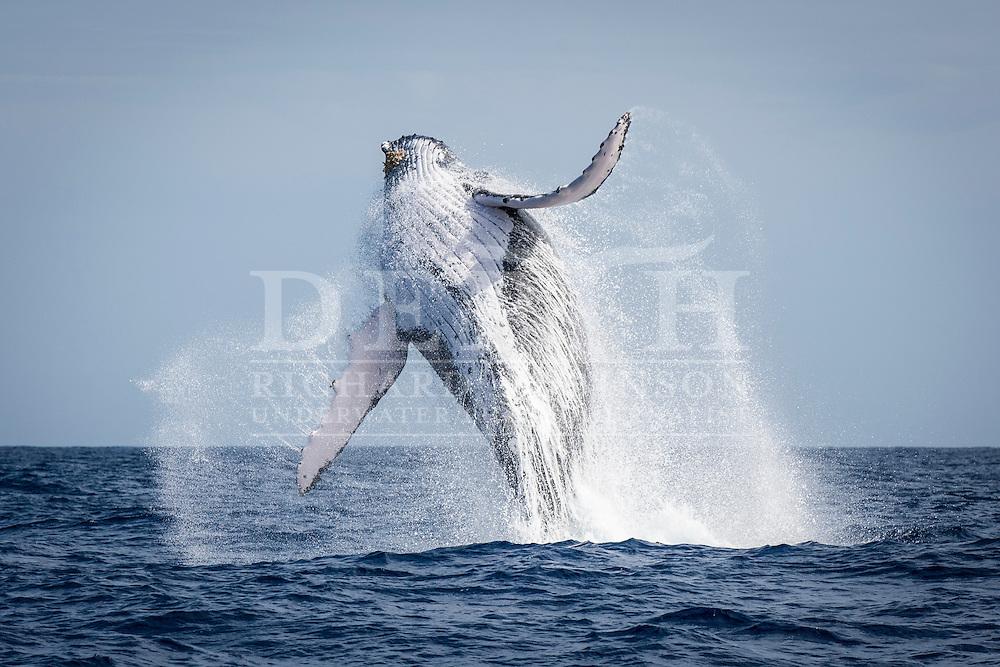 Megaptera novaeangliae (Humpback Whale) breaches off the coast of the Vava'u Island group in the Kingdom of Tonga..Thursday 30 August 2012..Photograph Richard Robinson © 2012.