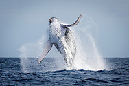 Megaptera novaeangliae (Humpback Whale) breaches off the coast of the Vava'u Island group in the Kingdom of Tonga..Thursday 30 August 2012..Photograph Richard Robinson © 2012.