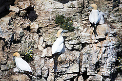 © Licensed to London News Pictures. 26/06/2017. Bempton UK. Gannet's have arrived at Bempton Cliffs on the Yorkshire coast where 250,000 seabirds arrive each year to rear their young. Photo credit: Andrew McCaren/LNP