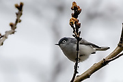 blue-gray gnatcatcher sitting on a branch