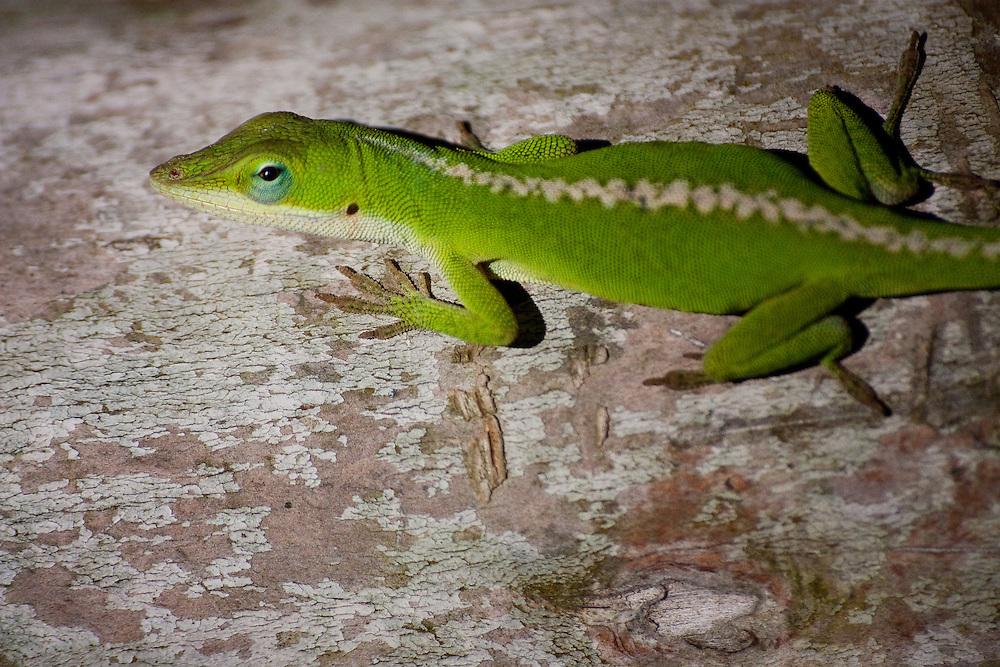 Green Gecko lizard on a tree in Honolulu, HI