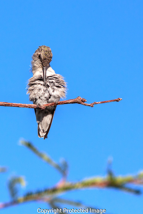 Female Hummingbird perching in the early morning sun.