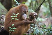 Sumatran Orangutan<br /> Pongo abelii<br /> Young female eating termite nest<br /> North Sumatra, Indonesia<br /> *Critically Endangered