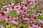 Garden bed of beautiful echinacea_purpura flowers.  Freeway 94 Wisconsin Dells USA
