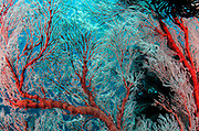 Sea Fan (Gorgonia) &amp; Feather stars<br /> Raja Ampat<br /> West Papua<br /> Indonesia