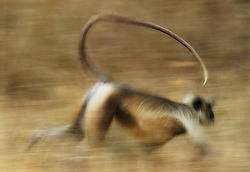 Gray Langur (Semnopithecus dussumieri) in motion, panned action, Bandhavgarh, India