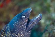 Mediterranean moray eel-Murène commune (Muraena helena) of Méditerranée.