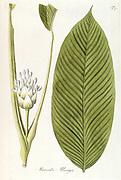 Hand painted botanical study of a (Calathea allouia syn Maranta allouia) flower and leaf anatomy from Fragmenta Botanica by Nikolaus Joseph Freiherr von Jacquin or Baron Nikolaus von Jacquin (printed in Vienna in 1809)