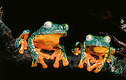 Fringed leaf frogs (Agalychnis craspedopus)<br /> CAPTIVE<br /> Amazon region<br /> ECUADOR. South America<br /> RANGE: Ecuador<br /> Amazon Basin