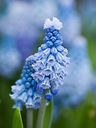 Muscari azureum - azure grape hyacinth