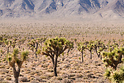 Joshua trees line the 50 miles of dirt road into Saline Valley in Death Valley National Park, California, USA.