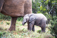 African elephant calf in close proximity to its mother, Addo Elephant National Park, Eastern Cape, South Africa