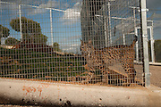 Iberian Lynx (Lynx pardinus) CAPTIVE<br /> Centro La Olivilla- Captive Breeding Centre, Jaén Province, Andalusia. SPAIN<br /> RANGE: Iberian Penninsula of Spain & Portugal.<br /> CITES 1, CRITICAL - DANGER OF EXTINCTION<br /> Fewer than 200 animals in the wild between Sierra Morena and Doñana. There is a reduced genetic variability due to their small population. They have suffered due to hunting, habitat loss, road accidents, reduced food supply due to desease in rabbits (Myxomatosis & RHD) - their base food supply. Deseases such as feline leukaemia<br /> A medium sized cat weighing 12-15kgs, Body length 90cm, Shoulder height 45-50cm. They have a mottled fur pattern, (3 varieties of fur pattern found between the different populations and distinguishing them geographically)  short tail, ear tufts and are bearded. They are territorial cats although female cubs have been found to share their mother's territory. Mating occurs in Dec/Jan and cubs born around April. They live up to 13 years.
