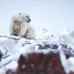 Polar Bears feeding on old whale carcass. Kaktovik, Alaska.