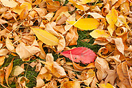 A colorful carpet of Ash and Virginia Creeper leaves