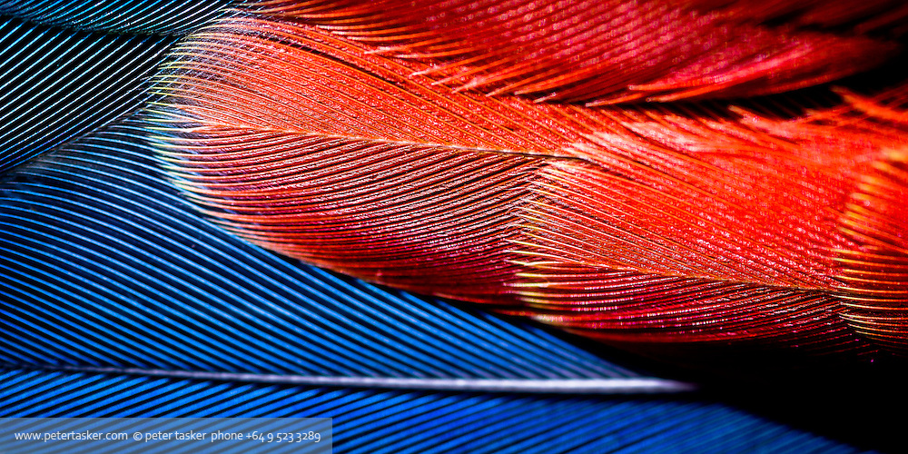 Rosella feathers. The Rosella is an Australian parrot that has recently become established in New Zealand.