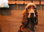 ©London News pictures. 10/03/11. 'Finny' (aged 14months) the French Mastiff gets ready for his lunch. Exhibitors and their dogs at Crufts 2011 held at The National Exhibition Centre in Birmingham today (Thurs). The show runs from 10 - 13 March 2011 Picture Credit should read Stephen Simpson/LNP