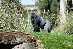 Newly arrived at London Zoo, Kumbuka a 15 year old Western Lowland Gorilla, makes his press debut today, London, UK, May 2, 2013. Photo by:  i-Images