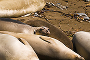 Elephant Seals (Mirounga angustirostris), Monterey Bay National Marine Sanctuary, San Simeon, California