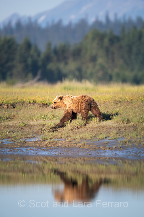 A brown bear walks along the tidal flats in Lake Clark National Park.