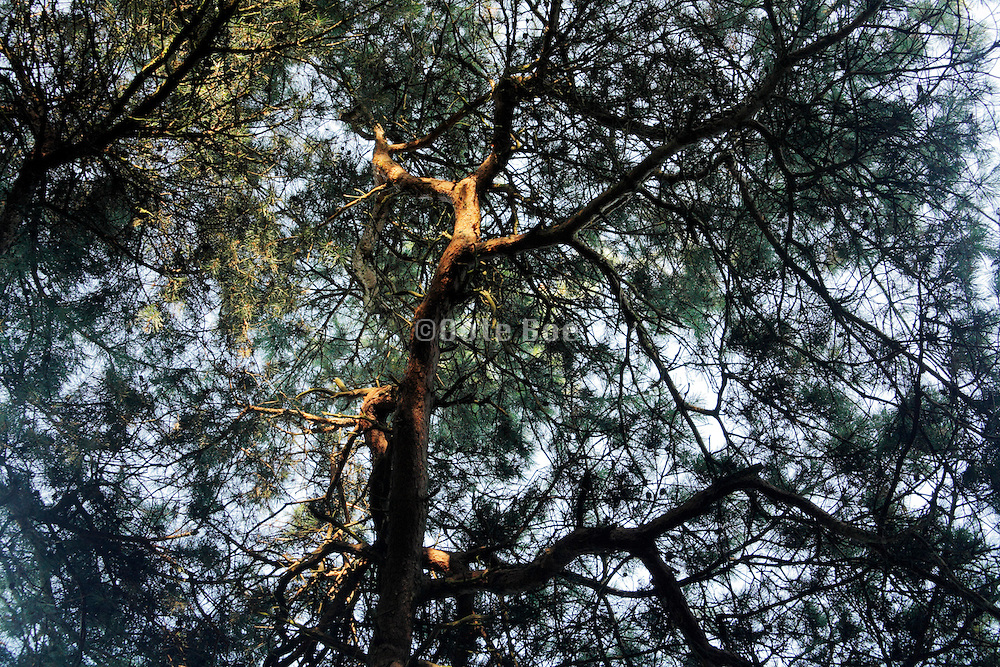upwards view of pine tree with twisting twigs