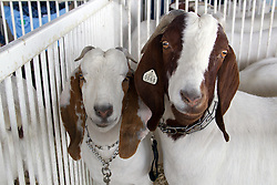 01 August 2014:   McLean County Fair.  Contestants participate in goat showing.