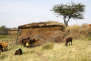 Masai (Also Maasai) Tribesmen an ethnic group of semi-nomadic people. Maasai men herding livestock Photographed in Kenya
