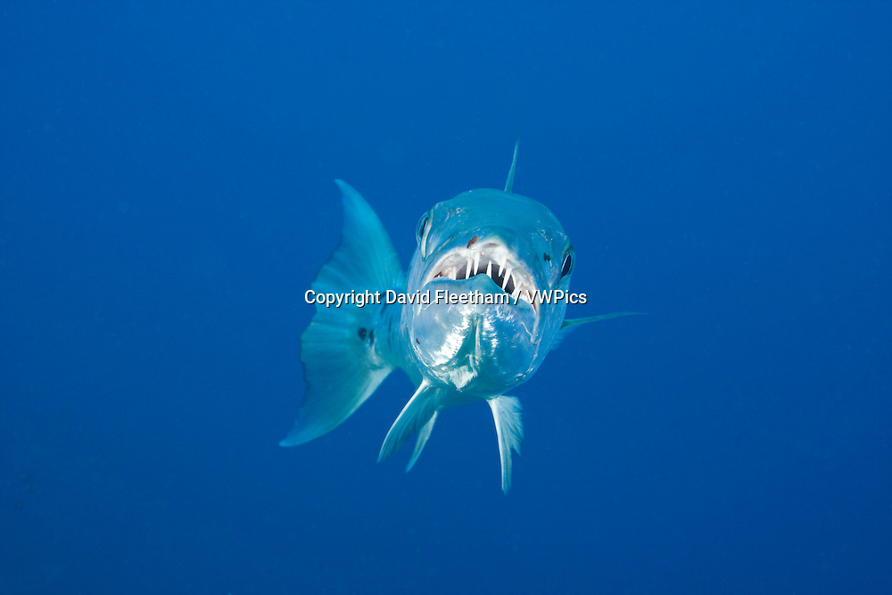 Great barracuda, Sphyraena barracuda, can reach as much as six feet in length, Bonaire, Caribbean.