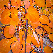 This image shows how deep orange the Aspen can get just before the leaves fall off. This image was taken in Hope Valley, CA. Here it is mapped out http://g.co/maps/n6744