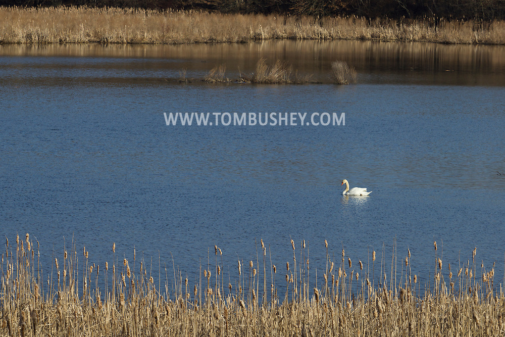 Goshen, New York - A mute swan (Cygnus olor) in the water at the 6 1/2 Station Road Sanctuary on April. 2, 2014. The sanctuary is located on 62 acres of wetland and is owned and maintained by the Orange County Audubon Society.