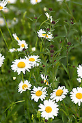 Oxeye Daisies, Leucanthemum vulgare, herbaceous perennials in wildflower meadow in the UK