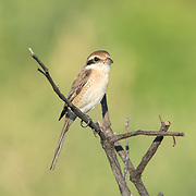 The brown shrike (Lanius cristatus) is a bird in the shrike family that is found in Thailand.