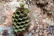 Beautiful wasp (Ropalidia sp.) on it's hive mwith eggs and larvae visible. Photo from Andasibe, Madagascar.