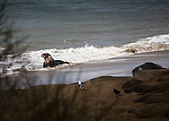 Elephant seal on the beach, Ano Nuevo, California
