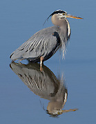 Great Blue Heron, Twin Lakes, Boulder County, Colorado