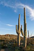 Saguaro cactus in Organ Pipe Cactus National Park