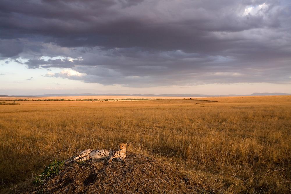 Kenya, Masai Mara Game Reserve,  Cheetah (Acinonyx jubatas) relaxes on savanna at sunset